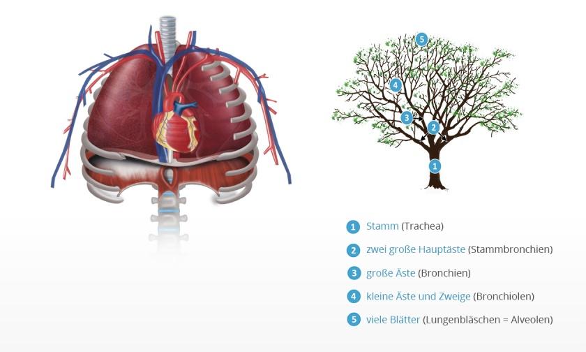 Atemwege | Atemmuskeltraining