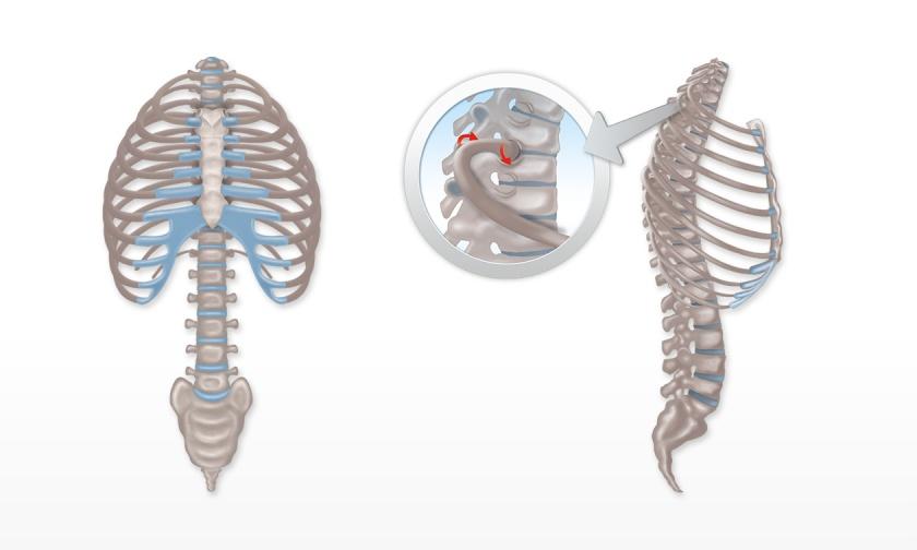 Wirbelsäule und Brustkorb